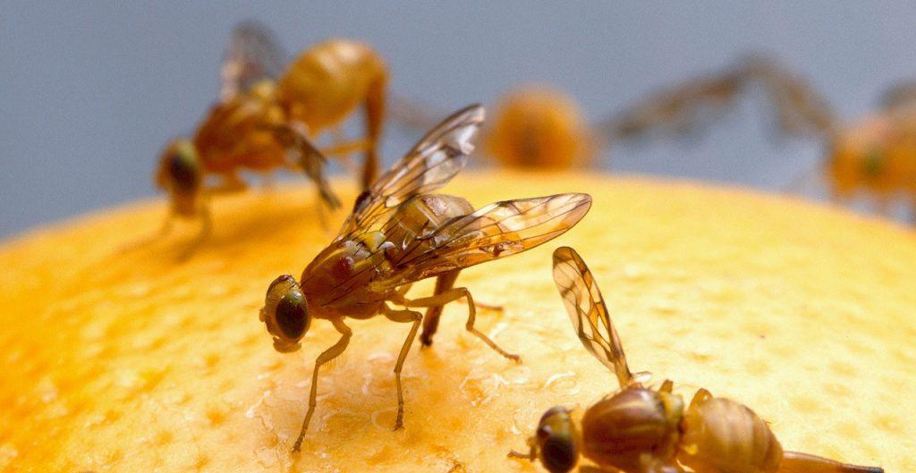 fruitvliegjes verwijderen en verjagen