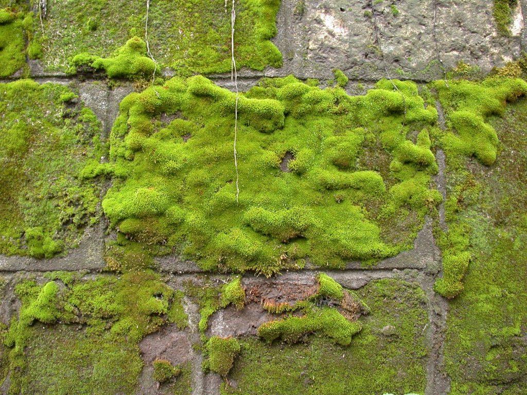groene aanslag op en tussen tegels