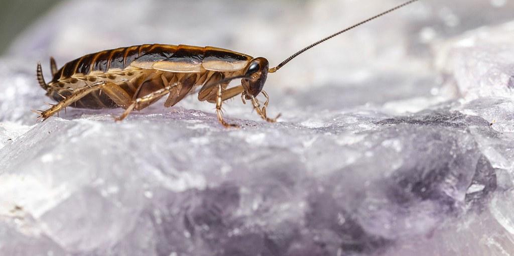 kakkerlak op eten
